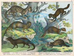 Various stoats and weasels