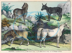 Four hooved animals