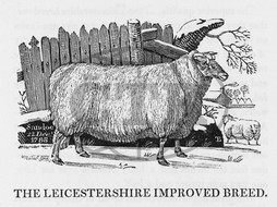 Leicester Improved breed of sheep