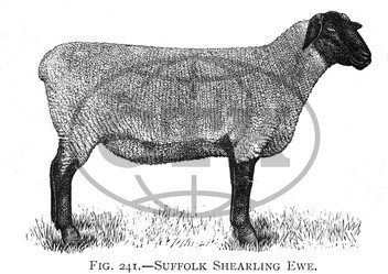 Suffolk Shearling ewe breed of sheep
