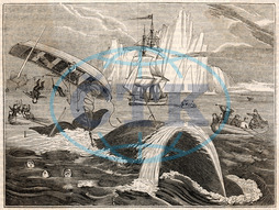 WHALING/CREW IN DANGER