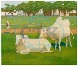 SACRED COWS,  INDIA