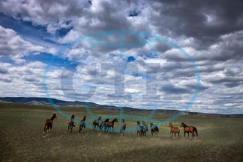 horses, wild horses, running free, freedom, Chris Harris, British Columbia, Canada, horizontal, outdoor, outdoors, day, color image, color images, colour image, colour images, photography, nobody, animal, animals, horse