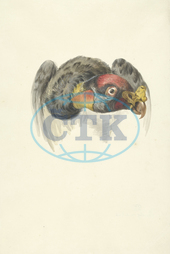 1763, 1824, François Levaillant, Head, arkheia, art, artistic work, artwork, circle, condor Gypagus Papa, fine art, gallery art, king vulture, museum art, work on paper