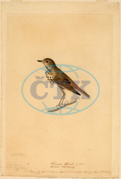 John, James, Audubon, Hermit, Thrush, American, 1785, 1851, 1820, black, chalk, watercolor, gouache, graphite, John James Audubon
