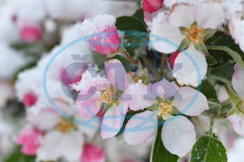 Apple blossom covered in snow