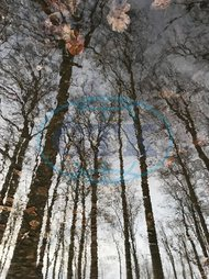 bare trees reflecting in a puddle