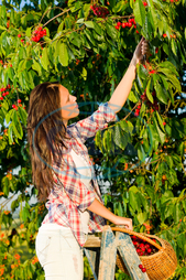 adult, agriculture, attractive, beautiful, branch, brunette, caucasian, cherries, crop, female, fresh, fruit, girl, green, hand, happy, harvest, juicy, natural, nature, one, organic, outdoor, picking, red, season, summer, sunsh