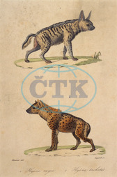 STRIPED & SPOTTED HYENA