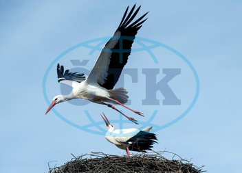 Stork Fridolin misses partner Friederike