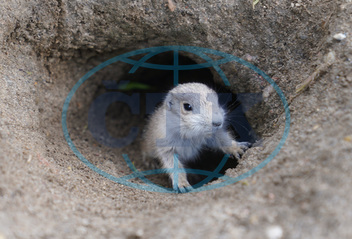 Offspring of prairie dogs in zoo